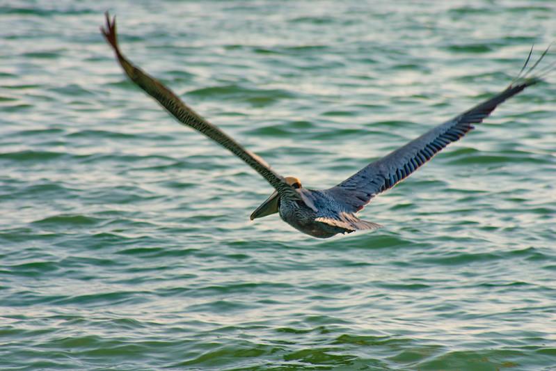 Pelican Over the Water in Florida