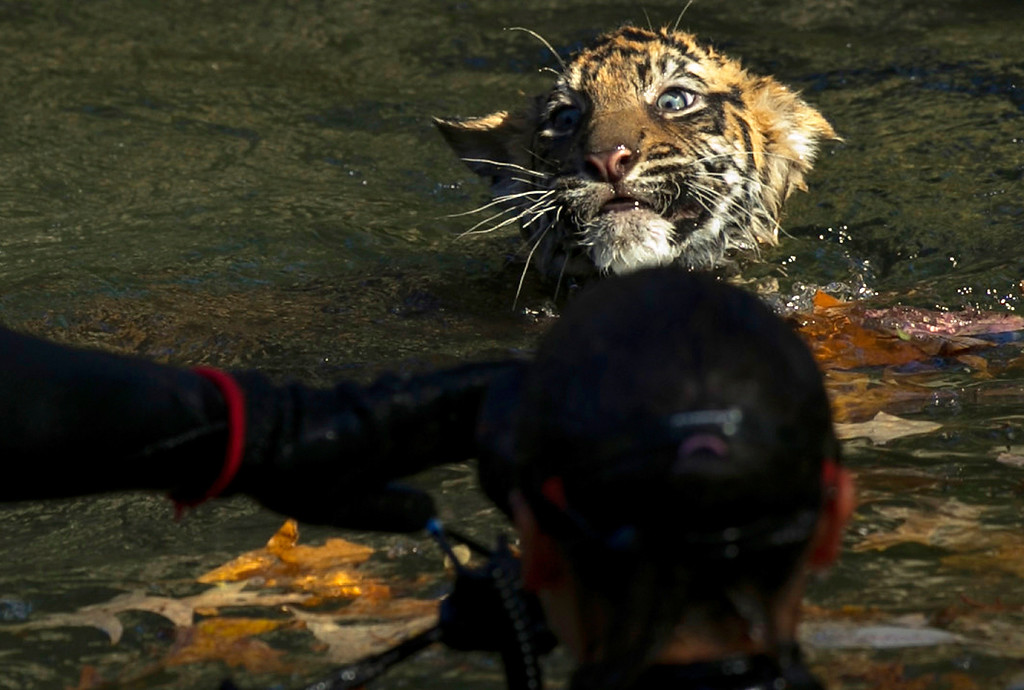""". A male Sumatran Tiger cub named Bandar performs his \""""swim test\"""" in a moat of the Great Cats exhibit at the National Zoo November 6, 2013 in Washington, DC.   (Photo by Win McNamee/Getty Images)"""