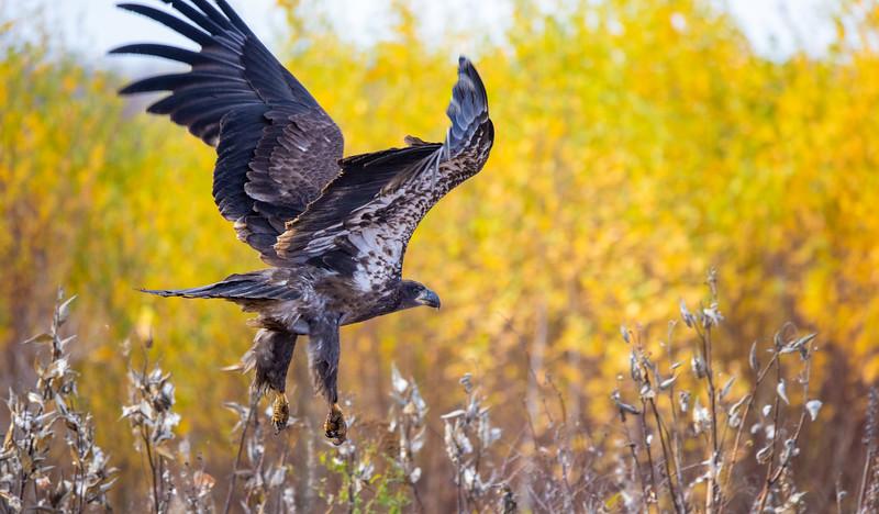 Bald Eagle CR7 Sax-Zim Bog MN IMGC7831.jpg
