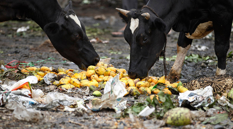 . Cows eat rotten fruit at a vegetable market in Bangalore, India, Wednesday, June 5, 2013. The World Environment Day is celebrated June 5 every year by the United Nations to stimulate global awareness on environmental issues. (AP Photo/Aijaz Rahi)