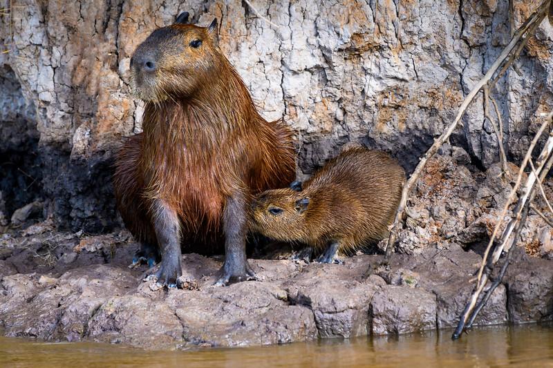 Nursing Capybara.jpg