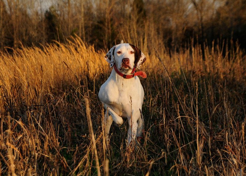 Clinton House Gun Dog.jpg