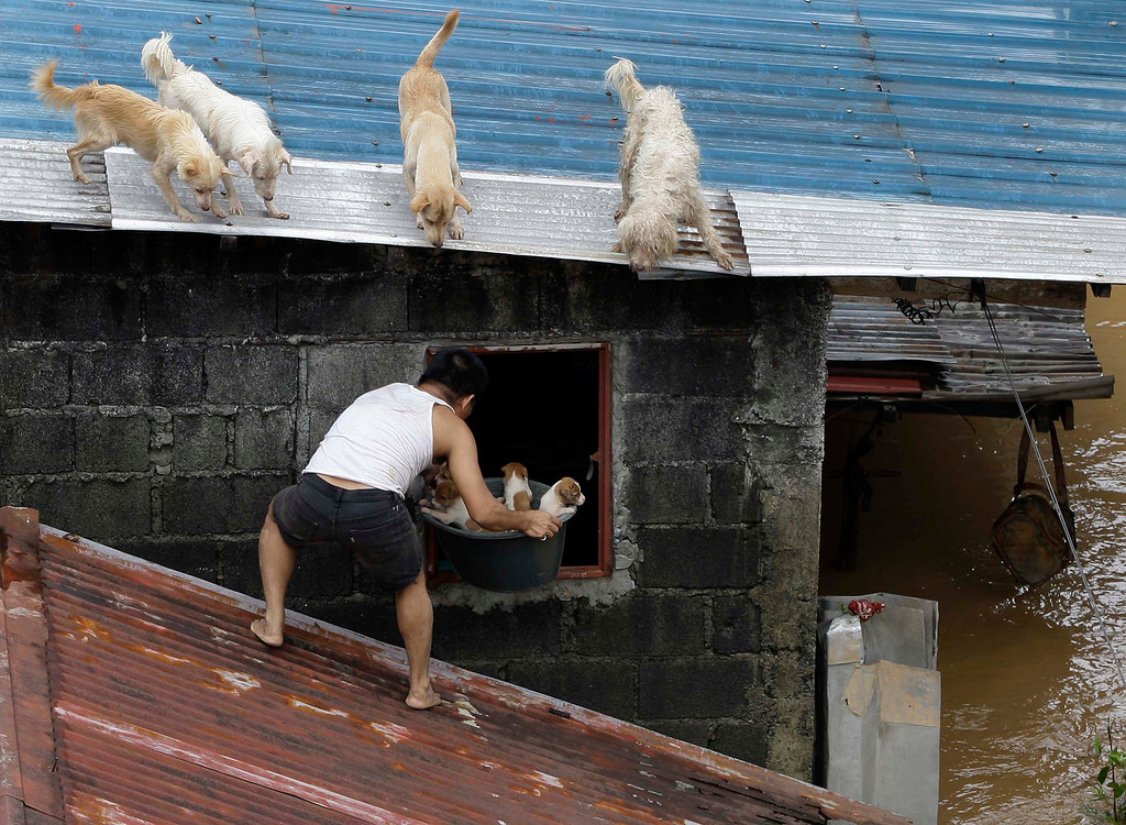 . In this Aug. 8, 2012 file photo, a man carries puppies back inside their house as other dogs stay on the roof at a flooded area in Marikina City, east of Manila, Philippines. Widespread flooding that killed at least 11 people, battered a million others and paralyzed the Philippine capital began to ease as cleanup and rescue efforts focused on a large number of distressed residents, some still marooned on their roofs. (AP Photo/Aaron Favila, File)