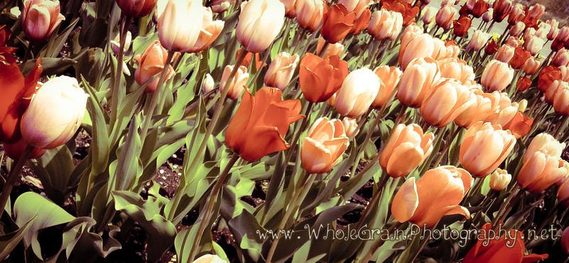 20120414_SpringTulipsiPhone_0002.jpg
