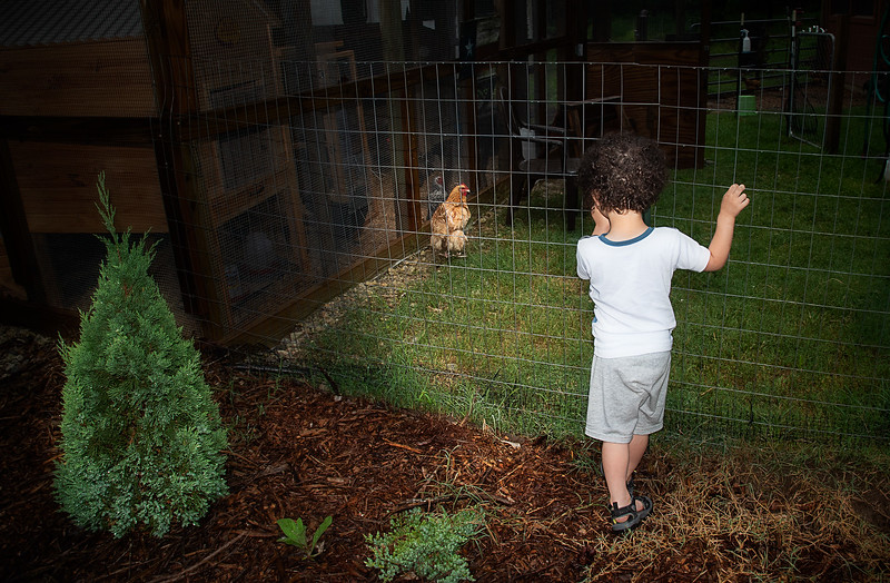 Chicken and the Toddler