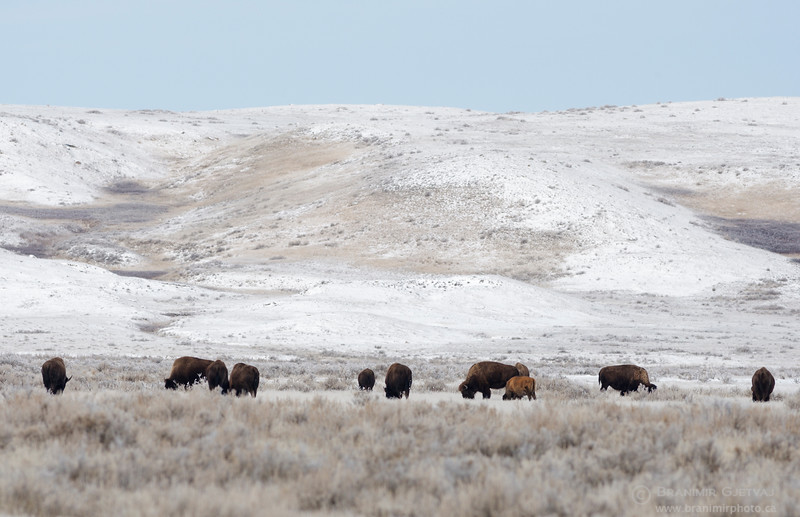 Herd of plains bison grazing in snow-covered prairie. Grasslands National Park, Saskatchewan