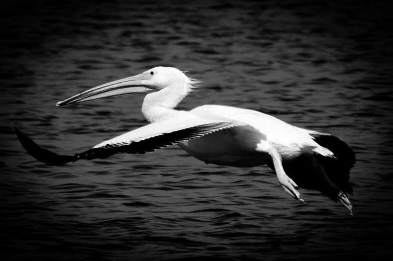White Pelican at Ding Darling