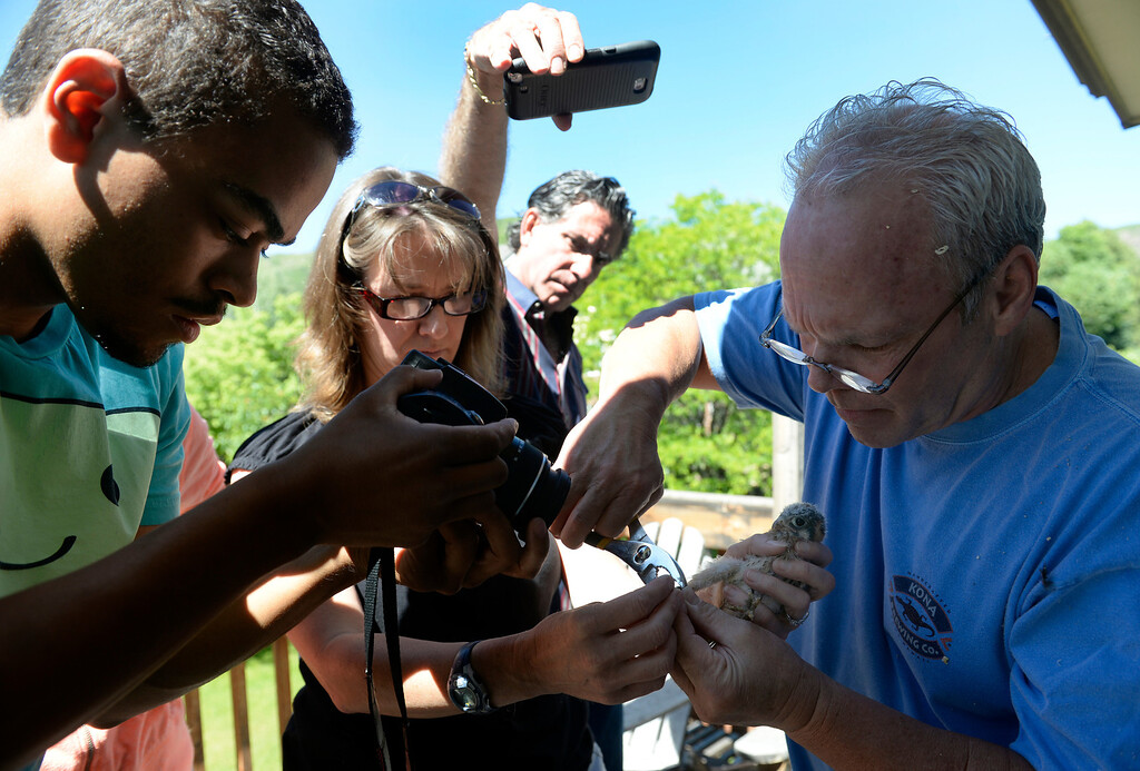 . LITTLETON, CO - JUNE 20: While the group takes video and photos, Licensed bird-bander and falconer Tony Head, right, and Deanna Curtis, director of Wild Wings Environment Education, center, carefully attach the bands on the baby kestrels. Bird experts and bird enthusiasts gather at the home of Tom Bush who has five baby kestrels nesting in a box attached outside his house. Licensed bird-bander and falconer Tony Head form the Colorado Hawking Club, joined the group so he could place bands on the bird so that they can be followed and studied. The kestrel is north America\'s smallest falcon and has seen a recent drop in its population. (Photo by Kathryn Scott Osler/The Denver Post)