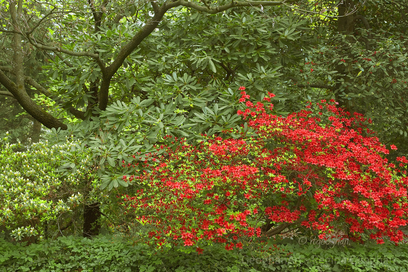 Flowering Schrubs_Azaleas-Red_0450.jpg