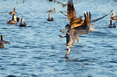 Pelican Invasion - Sausalito, CA