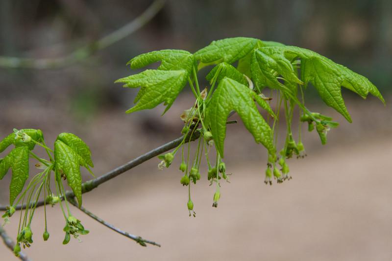 Acer saccarum - Sugar Maple