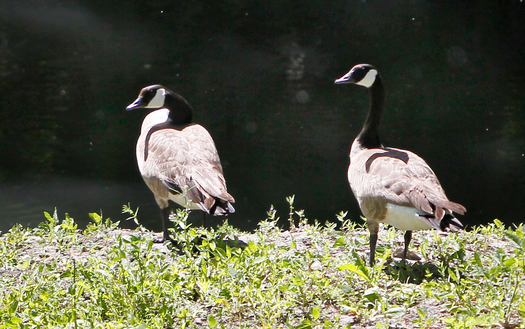 . A pair of wild geese relax near the Guadalupe River Trail in San Jose Saturday, April 20, 2013. Cyclists and hikers now have a smooth journey from Virginia Street in San Jose all the way out to Alviso with the completion of 6.7 miles of paving on the Guadalupe River Trail. Officials held a ribbon cutting, and several races. There was also a SpringFestival with plant sales, garden tours, exhibits of alternative sources of energy, free compost giveaway and an opportunity for San Jose residents to purchase compost bins. (Patrick Tehan/Staff)