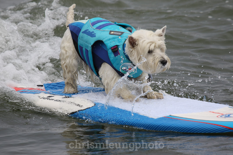 8/5/17: Tristan during the 2017 World Dog Surfing Championships at Pacifica State Beach in Pacifica, Ca by Chris M. Leung