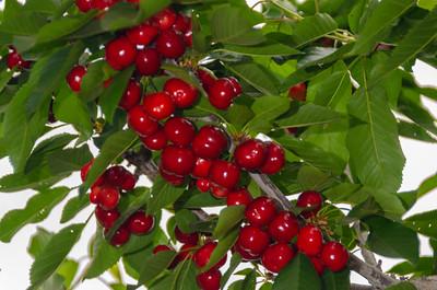 Tulare Cherry - Prunus avium sp.