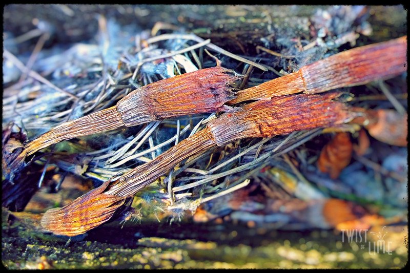 Dried field horsetails