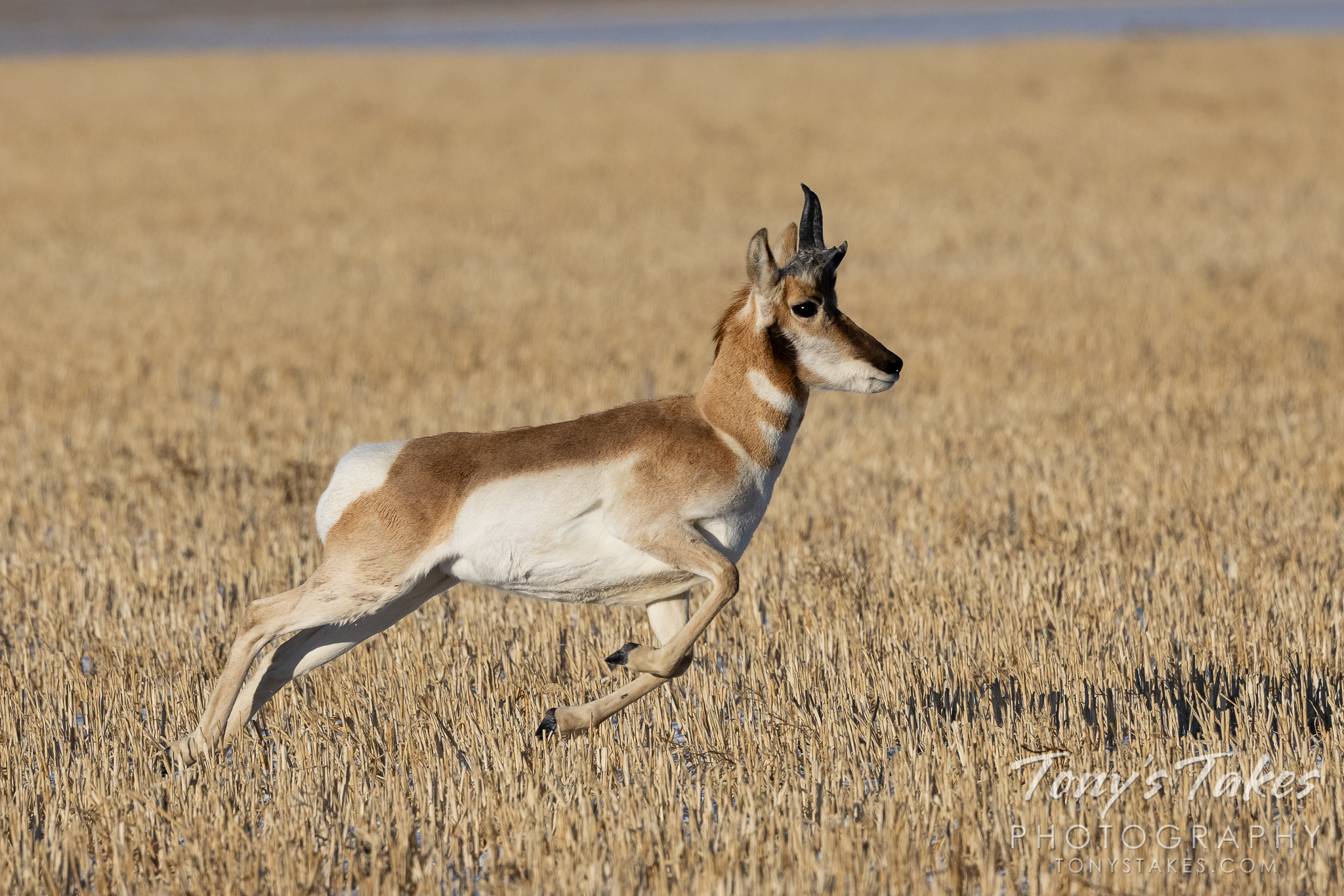 Pronghorn buck is off to the races