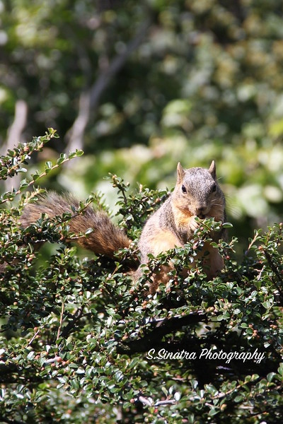 Landscape squirrel