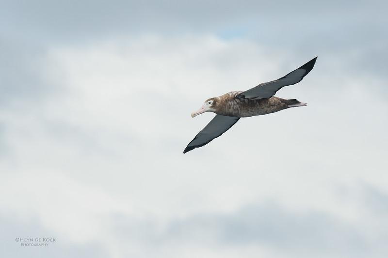 Wandering Albatross, Eaglehawk Neck Pelagic, TAS, Sept 2016-9.jpg