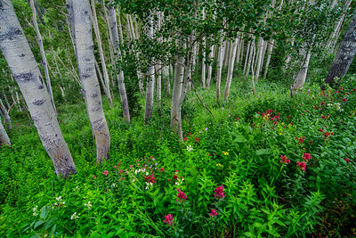 Spring flowers and Aspen trees