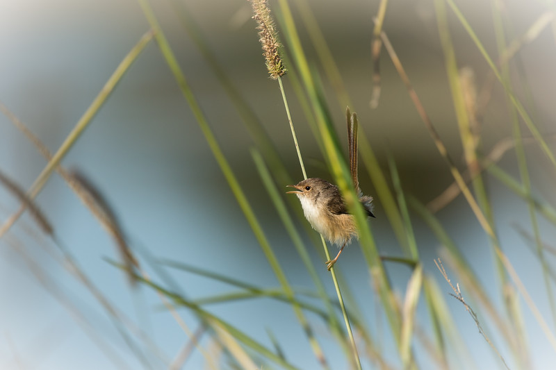Female red-backed fairy-wren, Sippy Downs, Queensland