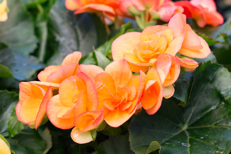 Apricot Begonia's - Matted Print $30