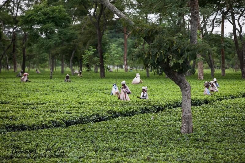 Tea Garden is Dibrugarh.