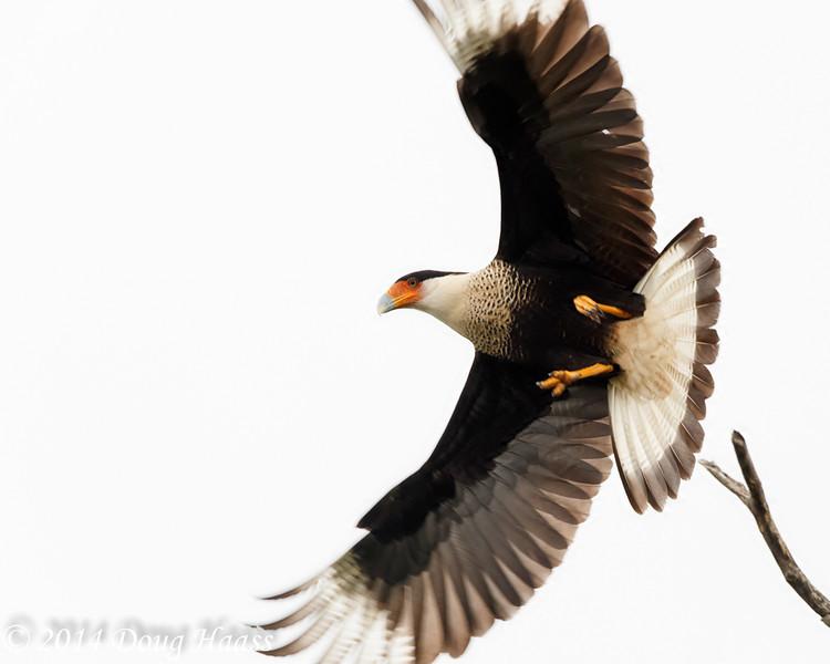 Adult Crested Caracara Caracara cheriway in Flight