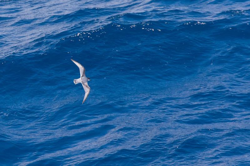 Blue Petrel - Drake's Passage, Southern Ocean