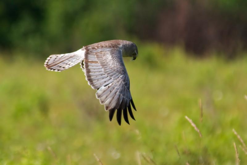Harrier - Northern - Sax Zim Bog, MN