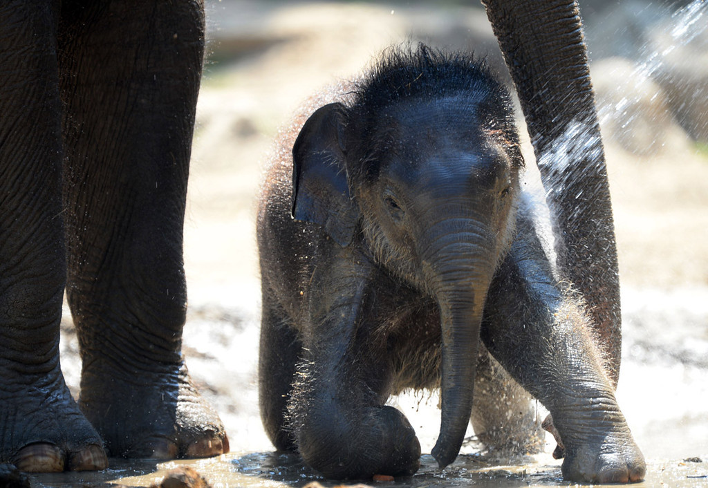 . Asha, age 4 months, and mother Angele  get a shower from their keepers at the Zoo and Botanic Garden in Budapest on June 21, 2013.   AFP PHOTO / ATTILA KISBENEDEK