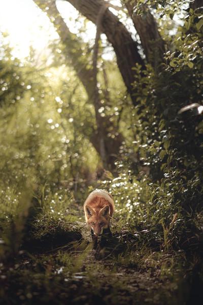 Investigating Red Fox