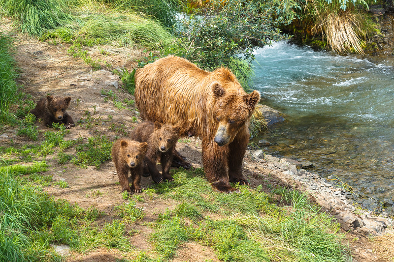 Grizzly bear and cubs, Brooks Falls. Katmai National Park, Alaska, USA.
