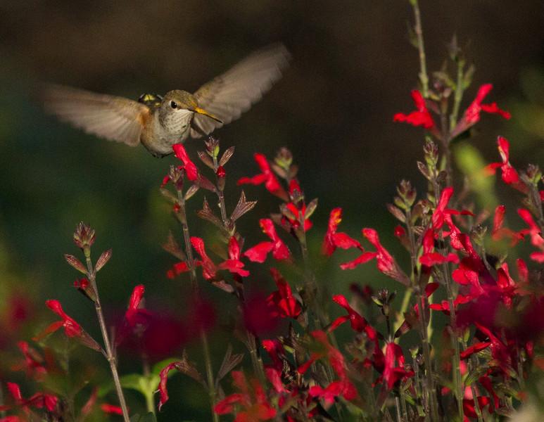 Broad-tailed  Hummingbird  Ash Canyon Arizona 2011 08 20-1.CR2-3.CR2