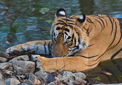Indien Tigerresa 2017