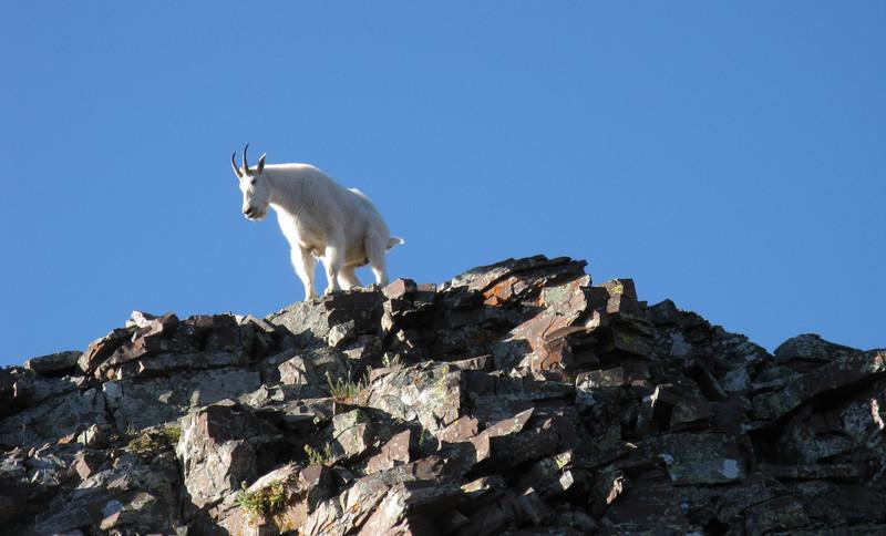 The first of several mtn goats along the NE Ridge.