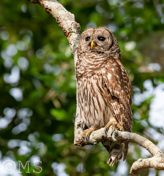 Barred Owl Image Gallery