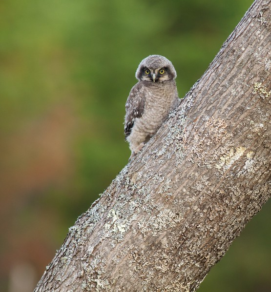 Northern Hawk Owl baby juvenile Owl Ave Sax-Zim Bog MN IMG_1200.jpg