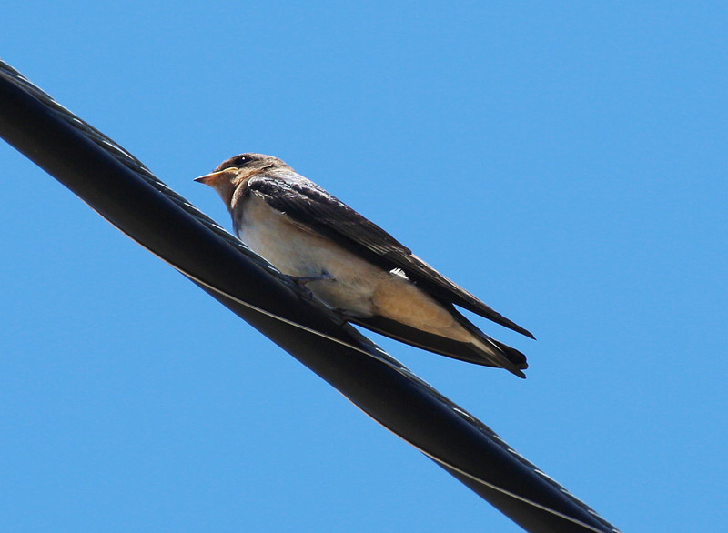 A cliff swallow on a power line.