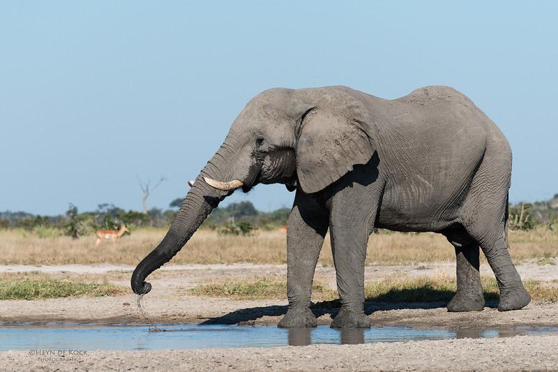 African Elephant, Savuti, Chobe NP, Botswana, May 2017-2.jpg