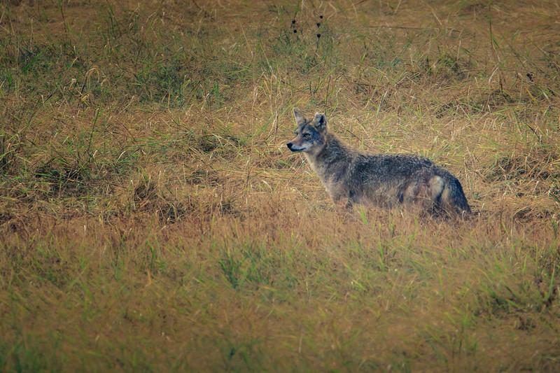 10.10.18 0 Blackburn Creek Fish Nursery: North American Coyote