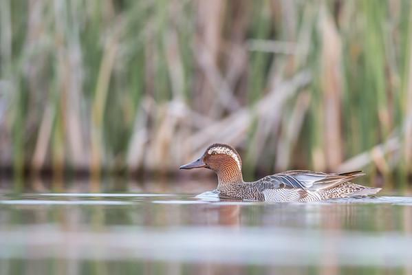 Birder's Corner - Waterfowl