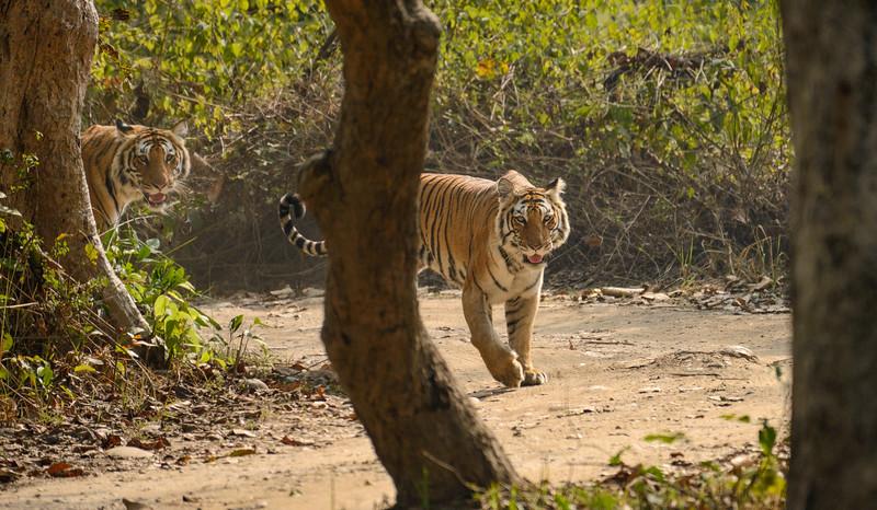 Cub-following-mother-tiger-corbett-bijrani-2.jpg