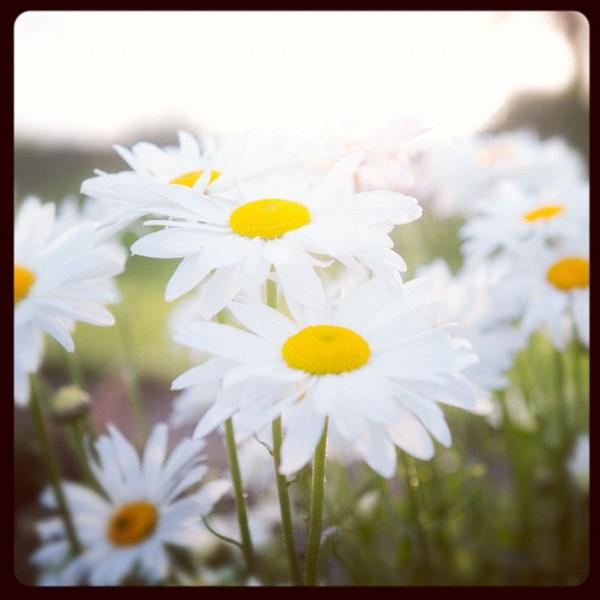 Summer Daisies.jpg