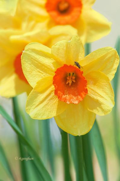 Yellow Daffodils_April 14_1430.jpg