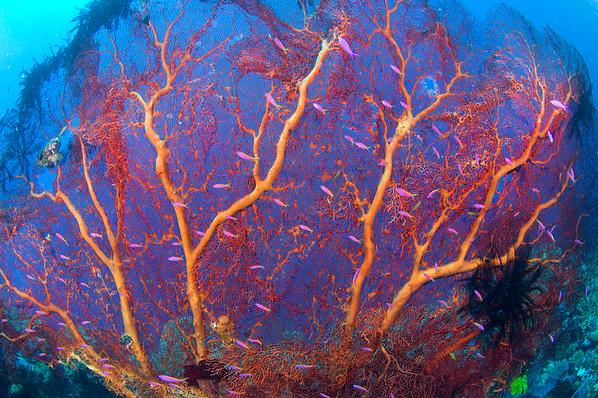 Coral-big
