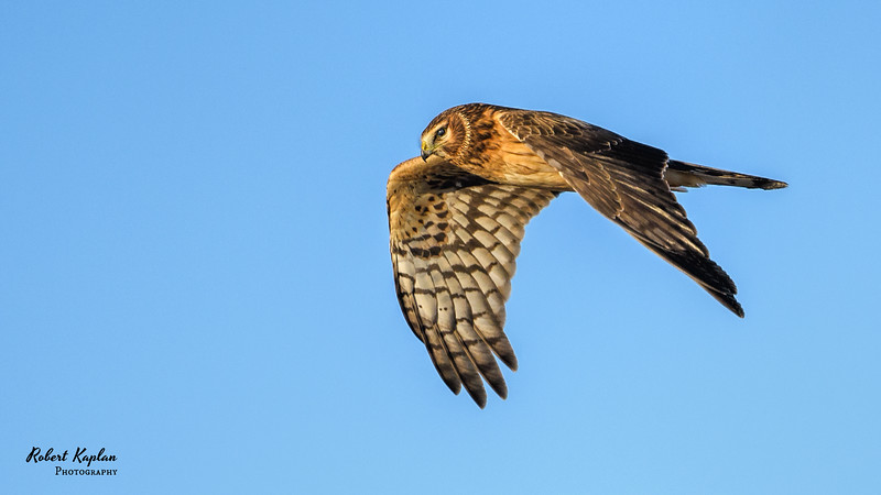 Northern Harrier-7879.jpg