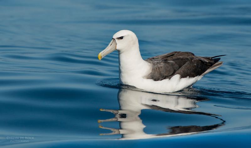Shy Albatross, Wollongong Pelagic, NSW, Aus, Jul 2013-3.jpg