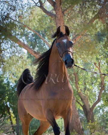 CME Arabians