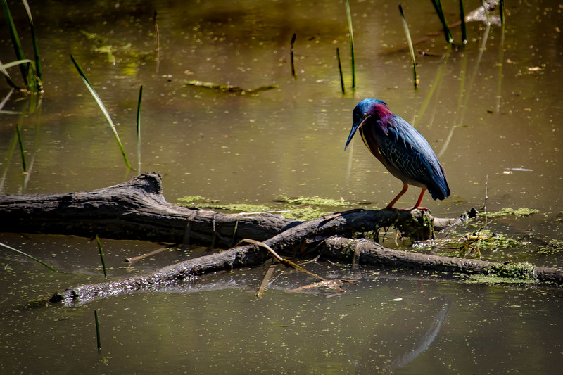 Green Heron, McKinley Woods, Channahon, Illinois