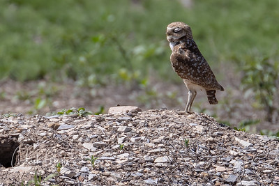 Burrowing Owls 2019